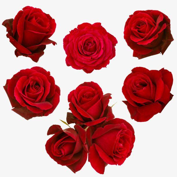 玫瑰花如何种植 种植玫瑰花的方法有哪些