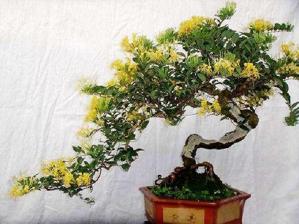 金银花的种植方法与管理方法