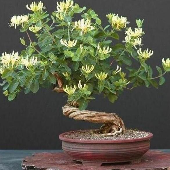 金银花如何种植 盆栽金银花种植的注意事项