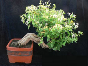 金银花怎样种植比较好 金银花的种植要点有哪些
