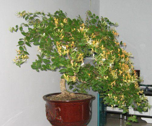 金银花如何管理 金银花的种植技巧有哪些