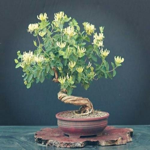 盆栽金银花的种植方法以及注意事项有哪些