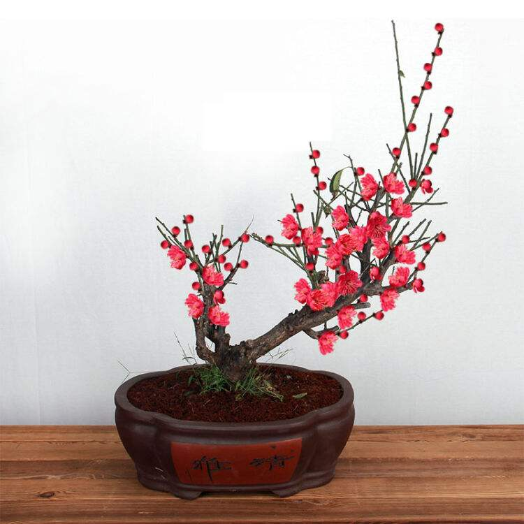 梅花盆景怎么种植?种植梅花盆景的方法