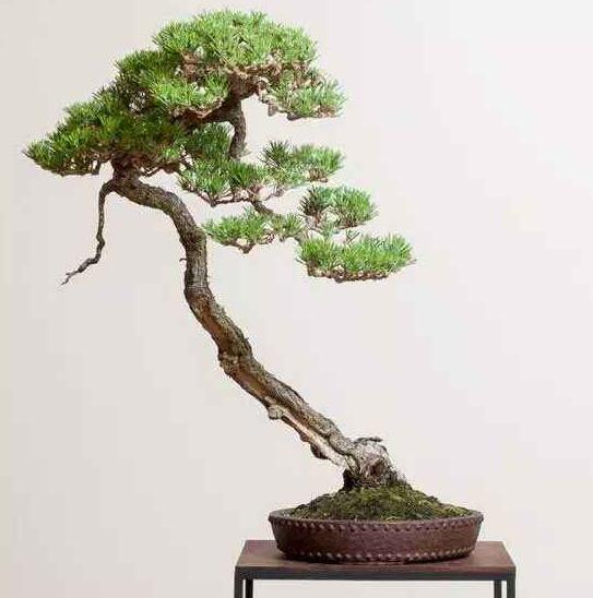冬季松树盆景如何养护 养护松树盆景的方法及注意事项有哪些