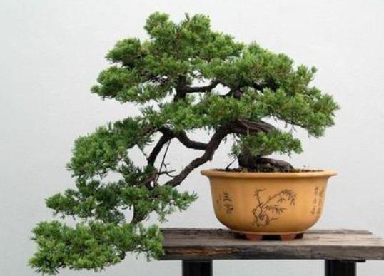 松树盆景的养护技巧是什么?如何养护松树盆景?