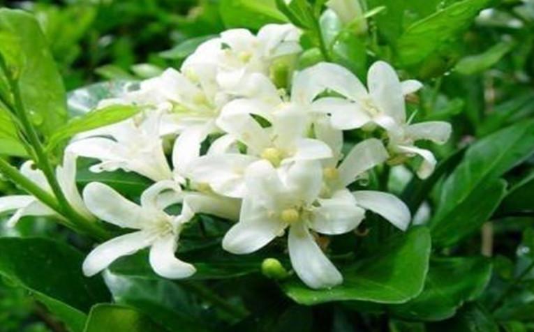 家庭种植七里香的好处有哪些?种植七里香好不好?