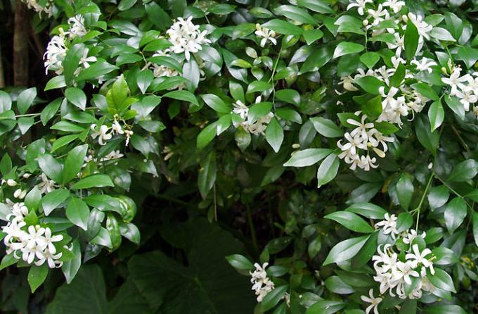 盆栽七里香播种的注意事项及播后管理方法.png