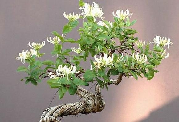 金银花种植方法和管理技巧是什么